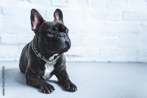 Foto op Plexiglas Franse bulldog Cute Frenchie dog lying on floor and looking up
