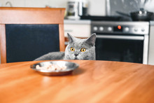 Cat Is Looking At Food, Cat Watches Over The Food, Sly Beautiful British Gray  Cat, Close-up, Cat Looks Out From Under The Table