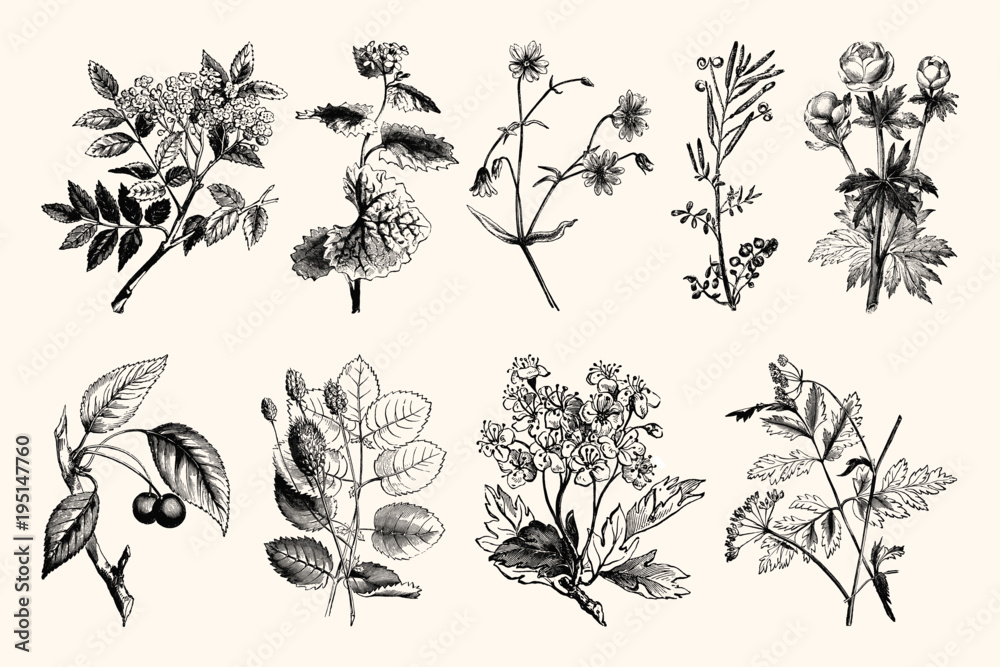 Fototapety, obrazy: Vintage Floral Line Art - Early 1800s Botanical Illustrations