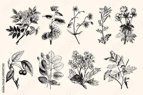 Vintage Floral Line Art - Early 1800s Botanical Illustrations Fototapeta