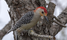 Red - Bellied Woodpecker