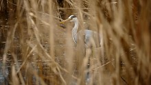 Great Blue Heron Preying For F...