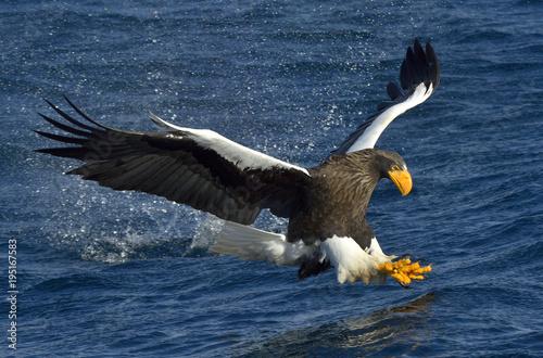 Steller's sea eagle fishing. Adult Steller's sea eagle (Haliaeetus pelagicus).