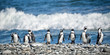 canvas print picture - Panorama of penguins in a row, South Africa