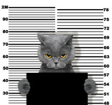Fototapeta Koty - Bad cat at the police station. Photo on white