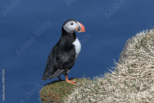 Fotografie, Tablou  Puffin enjoys a beautiful day on the Langanes Peninsula bird cliffs in north Ice