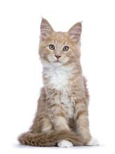 Creme Maine Coon Cat / Kitten ...