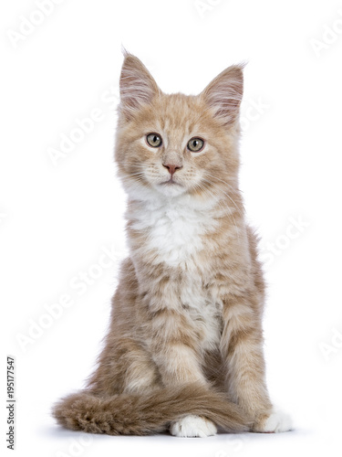 Naklejki koty   creme-maine-coon-cat-kitten-sitting-facing-the-camera-looking-curious-isolated-on-white-background