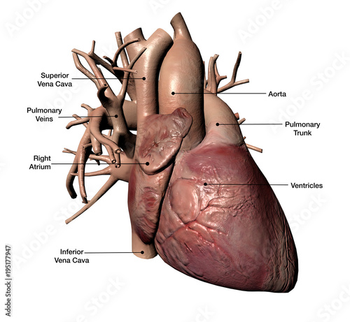 Human Heart with Coronary Arteries and Veins Labeled - Buy