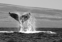 Black And White Whale Tail With Spray In Ocean With Island Beyond