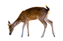 Baby Deer Isolated In White Ba...