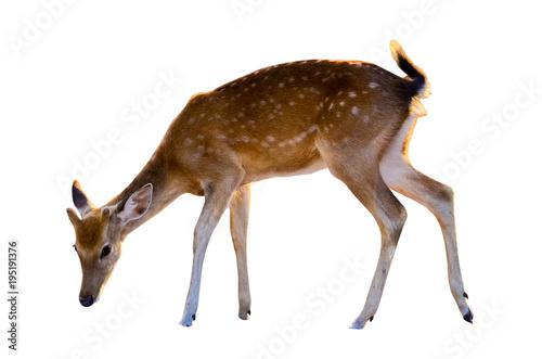 Deurstickers Hert baby deer isolated in white background