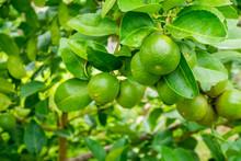 Fresh Green Lemon Limes On Tre...