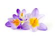 Leinwanddruck Bild - crocus - one of the first spring flowers
