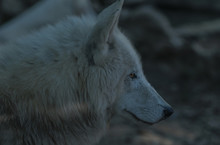 Close Up Of White/ Wolf.