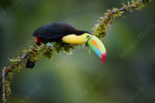 Tuinposter Toekan Keel-billed Toucan, Ramphastos sulfuratus,famous tropical bird with huge beak. Colourful toucan sitting on mossy branch in the tropical forest, Boca Tapada, Costa Rica. Wildlife in Central America.