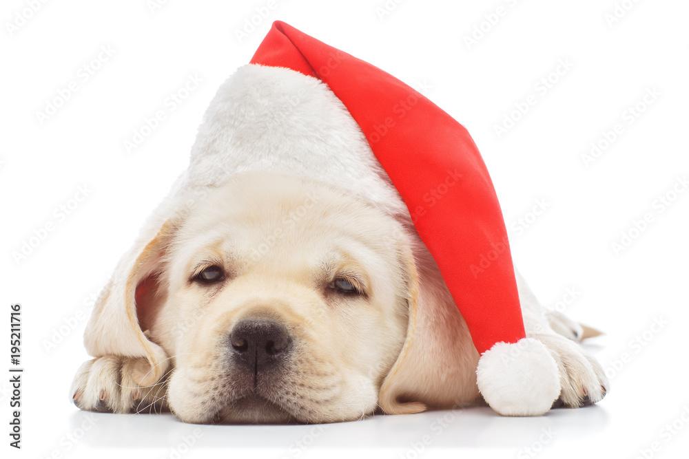 Fototapety, obrazy: Labrador puppy in santa hat