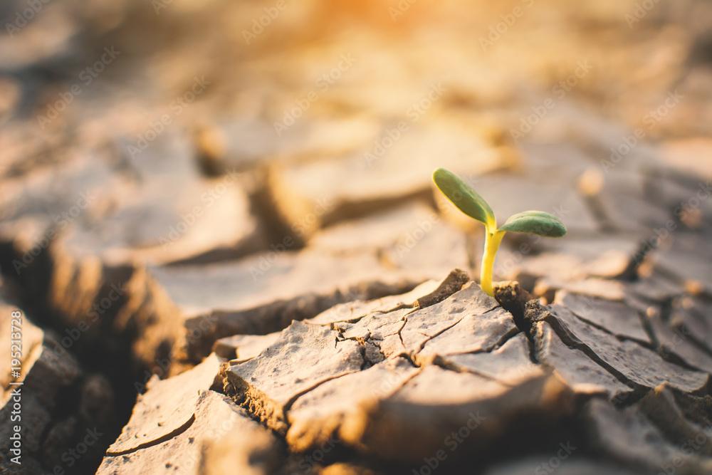 Fototapeta Little green plant on crack dry ground, concept drought