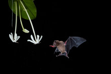 Isolated On Black, Pallas's Long-Tongued Bat, Glossophaga Soricina, Nocturnal Animal, Feeding By Long Tongue On Nectar From White Flower. Bat With Metabolism Similar To Hummingbirds.Flash Photography.
