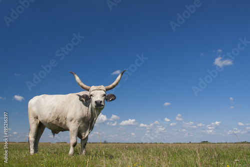 Fotografie, Tablou Hungarian Grey cattle (Hungarian: 'Magyar Szurke'), also known as Hungarian Steppe cattle, is an ancient breed of domestic beef cattle indigenous to Hungary