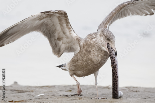 Spoed Foto op Canvas Natuur Immature Herring Gull trying to swallow a scavenged Spotted Snake Eel whole - Pinellas County, Florida