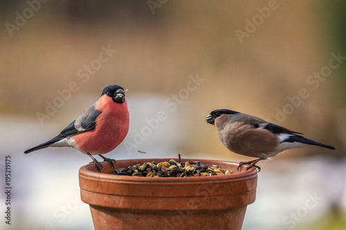 Fotografia Eurasian Bullfinch, Pyrrhula pyrrhula, couple