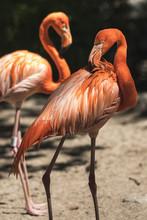Closeup Portrait Of A Pink Flamingo