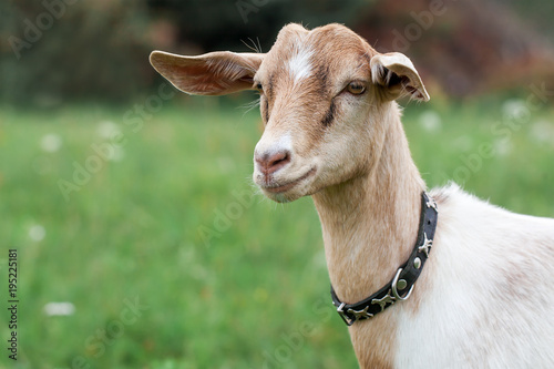 Young and very nice Anglo-Nubian goat Canvas Print