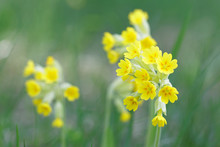 Closeup Of Yellow Cowslip Flower (latin Name: Primula Veris), Green Background