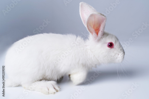 Fotografie, Obraz  White rabbit on a light gray background.