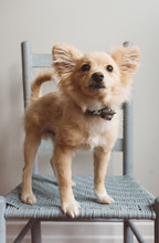 A 4 Month Old Pomeranian Puppy