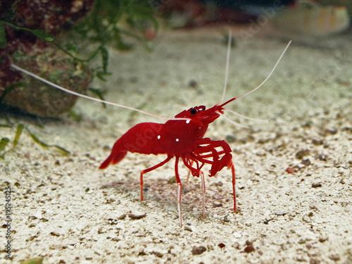 the red shrimp