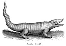 Crocodile With Open Mouth And Erect Tail In Side View (after A Historical Woodcut Or Engraving From The 17th Century)