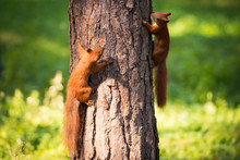 Two Red Squirrels Play On The Tree.