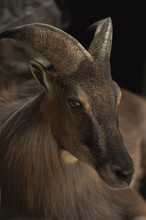 Wild Mountain Ibex/goat