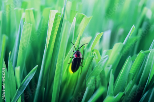 Photo Firefly on grass at dusk