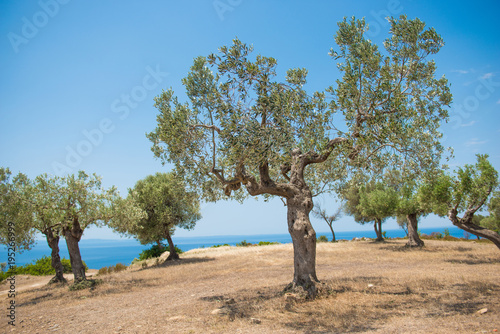 Green olives on olive tree ripening under sun and sea