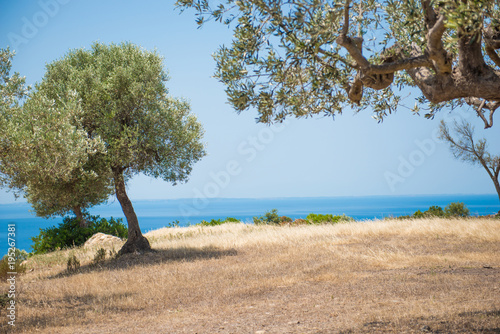 Coast with olive trees in front of blue sea