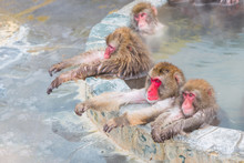 Japanese Snow Monkey Onsen (macaques) In Winter