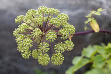 Closeup Angelica Flower (latin...