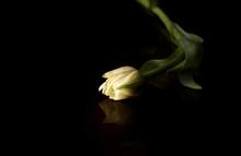Spring Tulip On A Black Backgr...