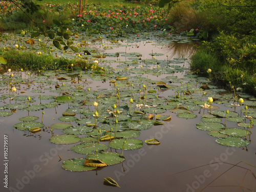 White and red lotus flowers - Buy this stock photo and
