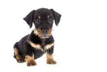 Puppy Wire Haired Dachshund On...
