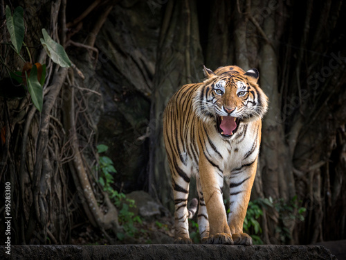 Stampa su Tela Sumatran tiger standing in a forest atmosphere.
