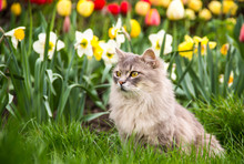 Street Cat In The Spring Garden. Gray Fluffy Cat Sits In Flowers. Cat In The Flowerbed. Copy Space. Spring Time.
