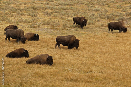 Aluminium Prints Bison herd in Yellowstone National Park in Wyoming in the USA