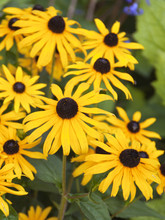 Colourful Yellow Rudbeckia Flower Display