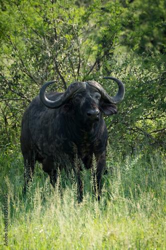 Keuken foto achterwand Buffel Cape buffalo faces camera from beside bushes
