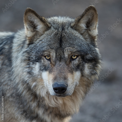 Foto op Canvas Wolf Grey Wolf Animal