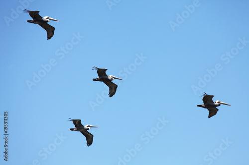 Fotografie, Obraz  flying pelicans